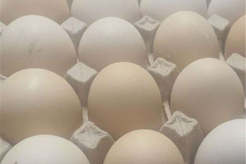 fertile ross 308 Egg incubator