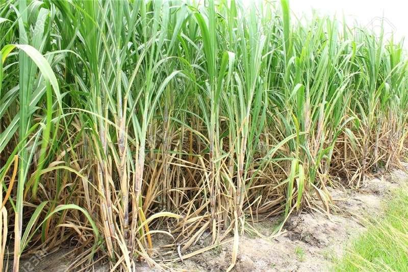 Harvesting equipment Sugar cane harvesters Fresh Sugar Cane