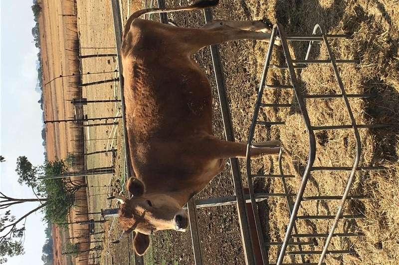 Livestock Cattle 2xJersey verse te koop