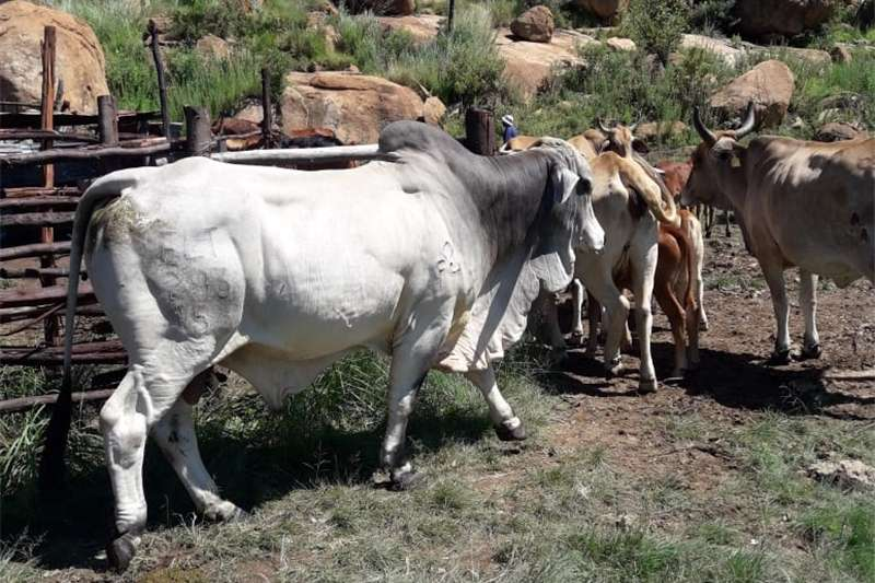 Livestock Cattle 36 weaners for sale