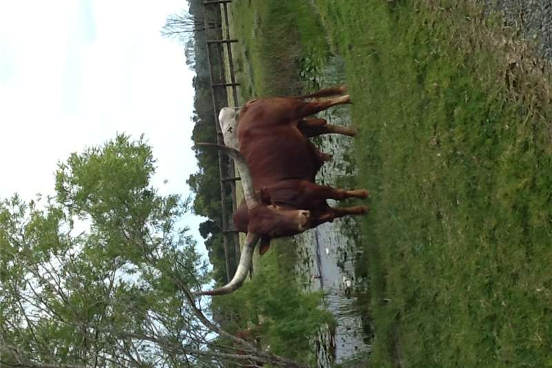 Livestock Cattle Ankole/Watusi cattle FOR SALE