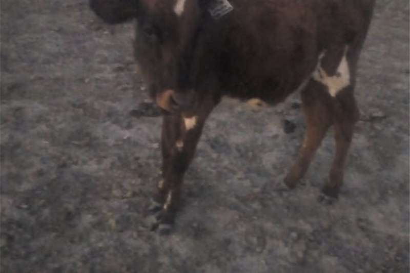 Cattle Ayrshire Heifer for sale Livestock