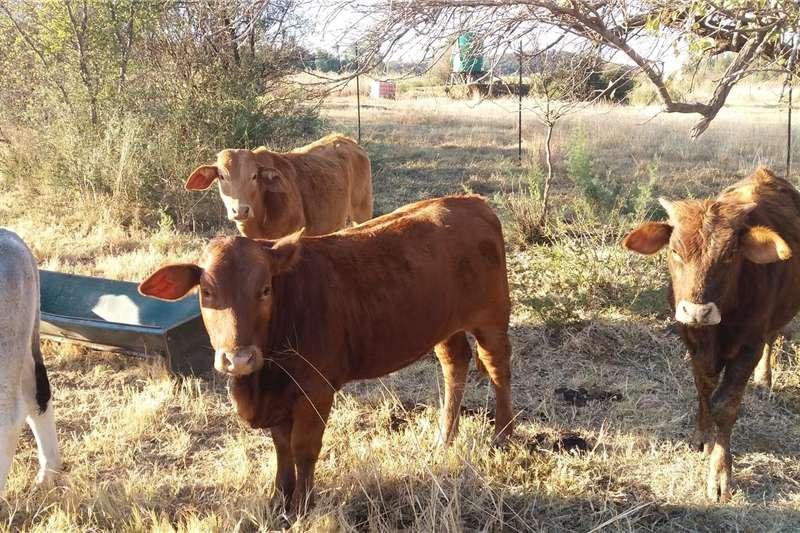 Livestock Cattle Beeste