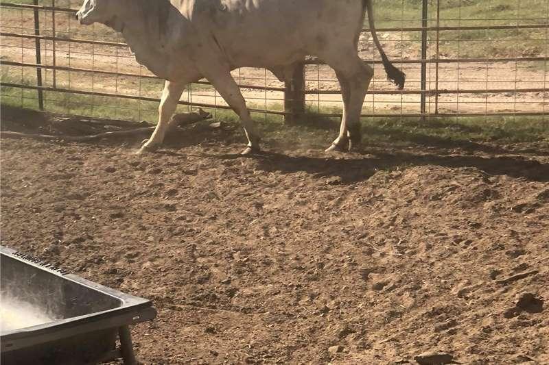 Cattle Bonsmara and Brahman cows Livestock