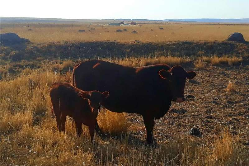 Livestock Cattle Bonsmara Cattle For Sale