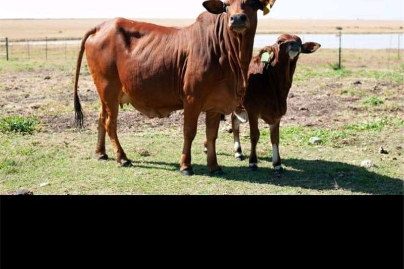 Cattle Boran Cattle Livestock
