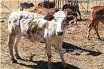 Livestock Cattle Brahaman en kruis verse
