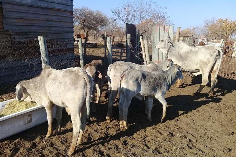Livestock Cattle Brahman bull calves and Heifer