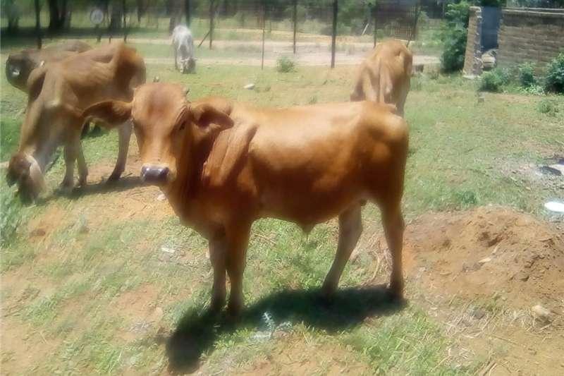 Cattle Brahman bulls 5 Livestock
