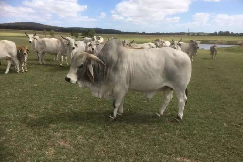 Livestock Cattle Brahman Bulls and Heifers now available on special