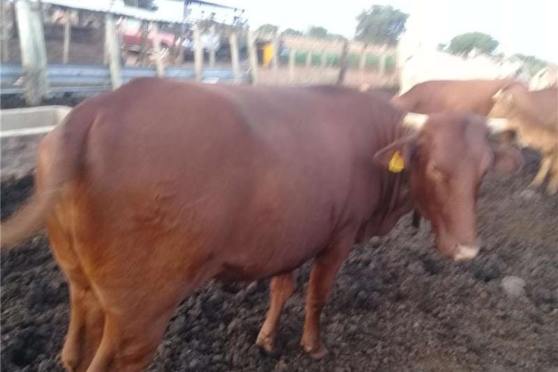 Cattle Brahman cattle and calf for sale Livestock