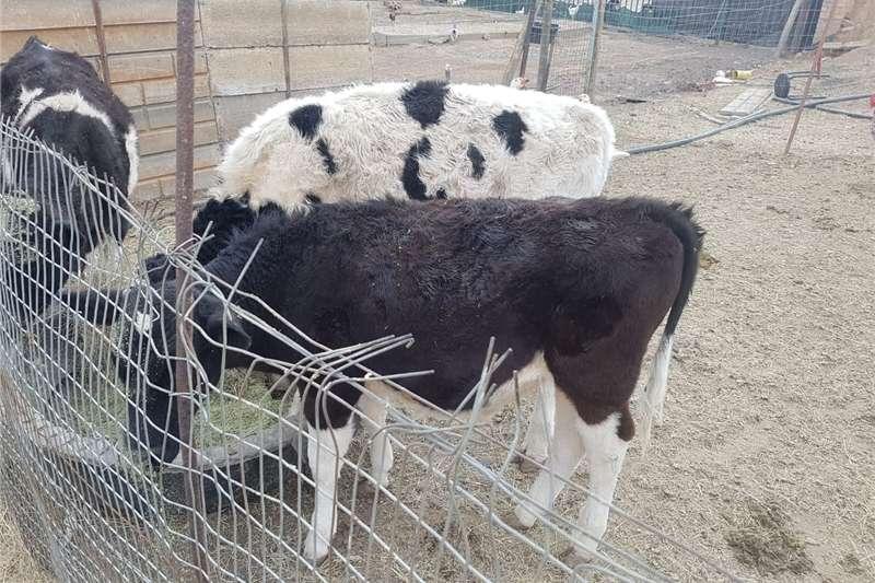 Cattle Bul kalwers Livestock