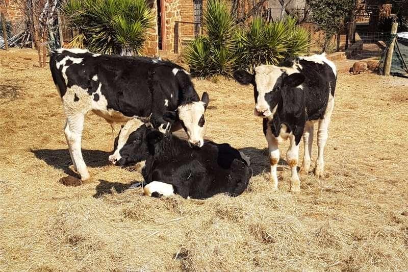 Livestock Cattle Calves for sale