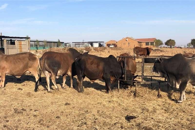 Cattle Cattle for sale   Boran Livestock