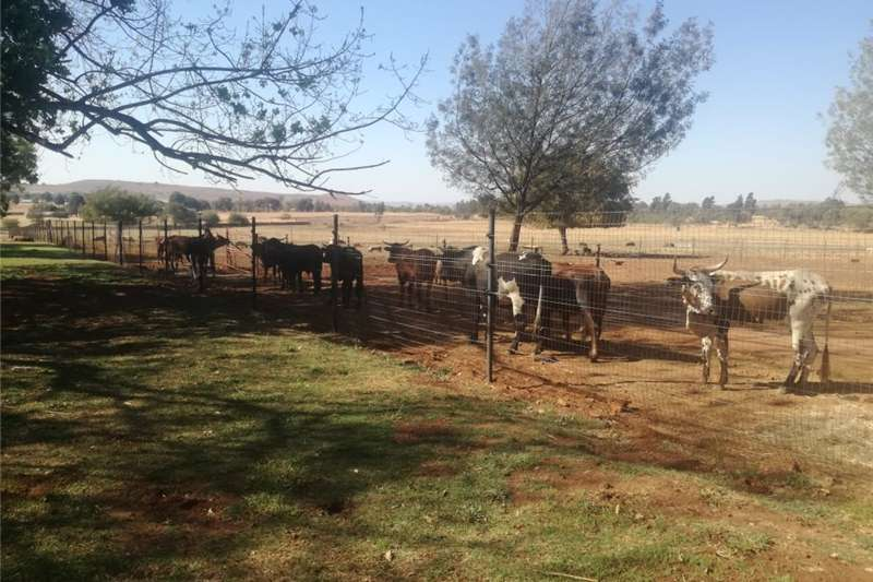 Cattle Cattle For Sale Livestock