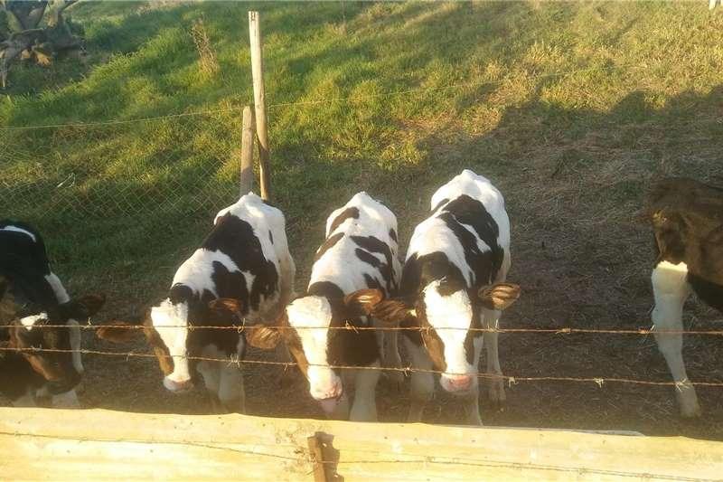 Livestock Cattle Holstein BULL calves for sale