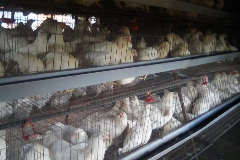 Cattle Hyline Point of lays hens Livestock