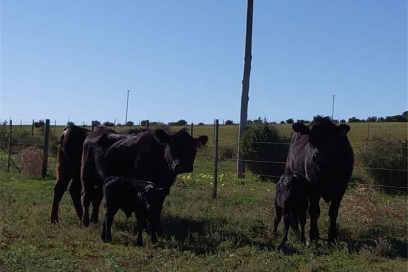 Cattle Purebred, 3 year old Angus bull for sale Livestock