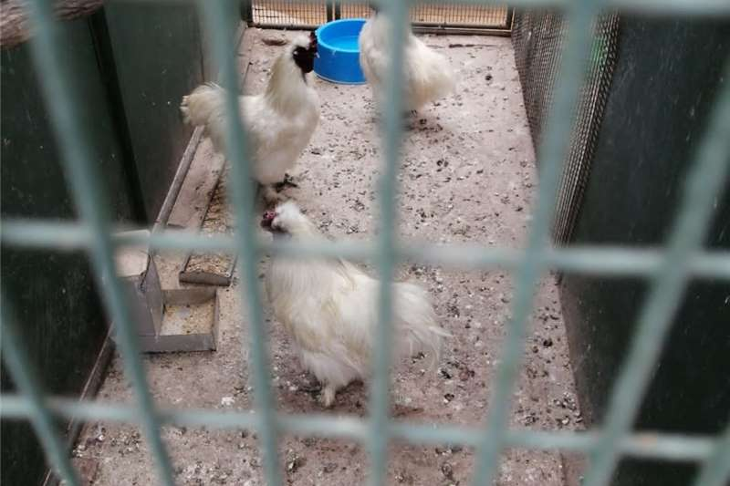 Cattle Silkie Roosters for Sale: Livestock
