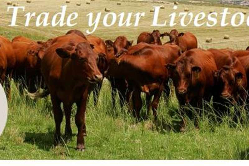 Livestock Cattle We BUY your Cattle !