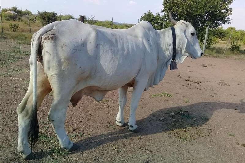 Cattle White Brahman Female Livestock