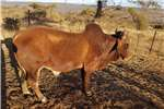 Cattle X brahman bull for sale Livestock