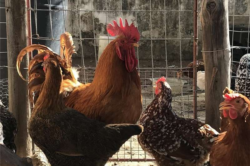 Chickens Beautiful Roosters and hens for sale! Livestock