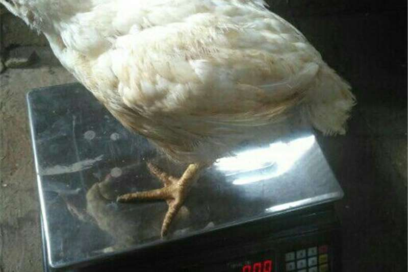 Chickens Boiler Chickens For Sale R55 each Livestock