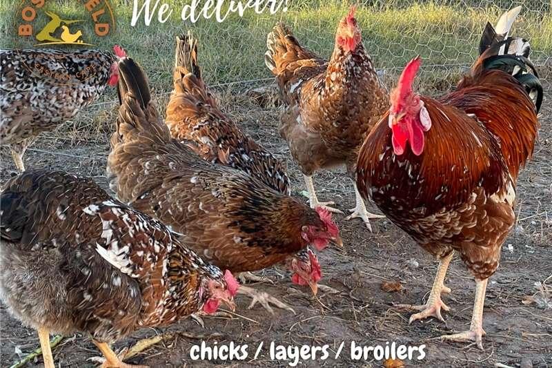 Chickens BOSCHVELD live village chickens for sale, bulk del Livestock