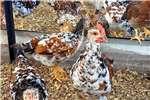 Chickens Boschvelders 7 8 weeks Livestock