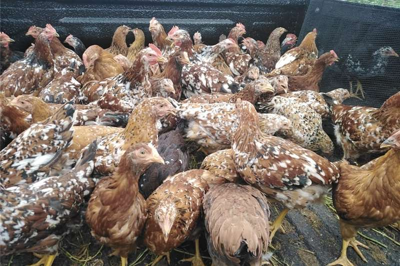 Livestock Chickens Bosvelders and Potch Koekoe for sale