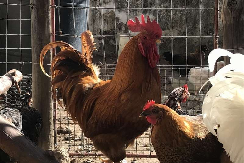 Chickens Buff Orpington Roosters for sale! Livestock