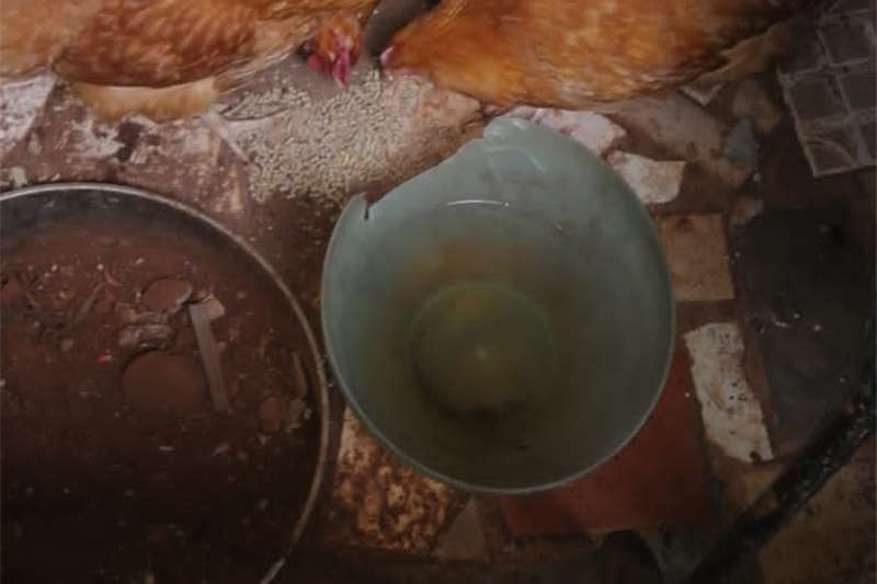 Chickens Buff Orpingtons Chickens for Sale Livestock