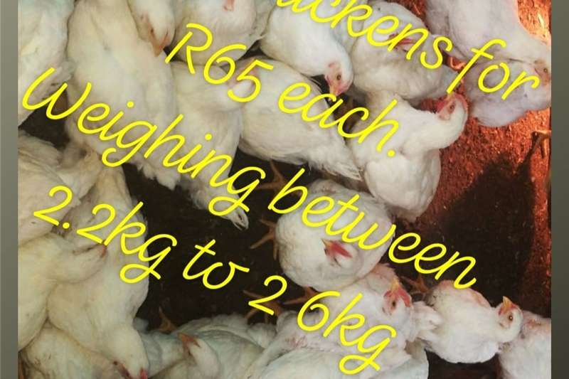 Chickens Chicken For Sale in Pretoria East Livestock
