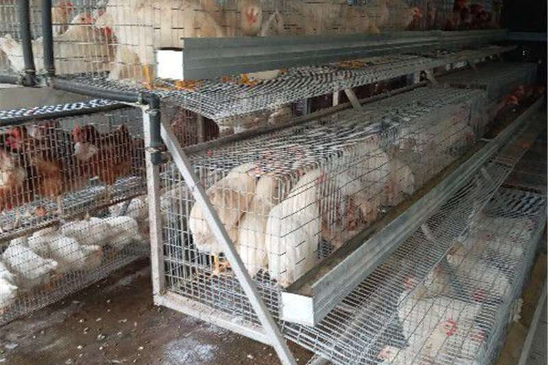 Chickens Chicken layers/point of lay , fully vaccinated for Livestock