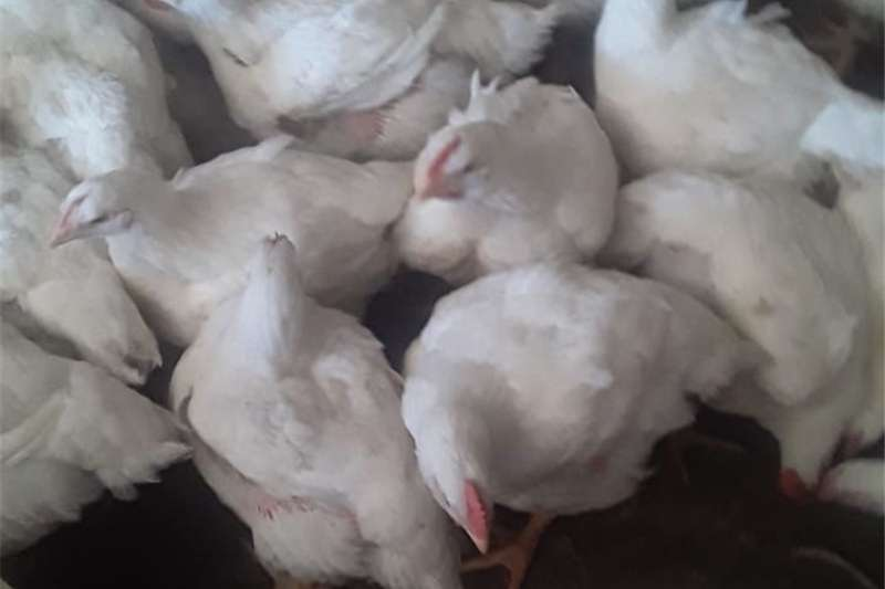Livestock Chickens Chickens for sale