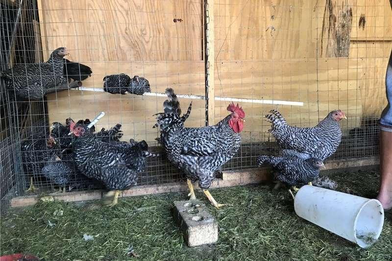 Chickens Chickens Koekoek Potch Livestock