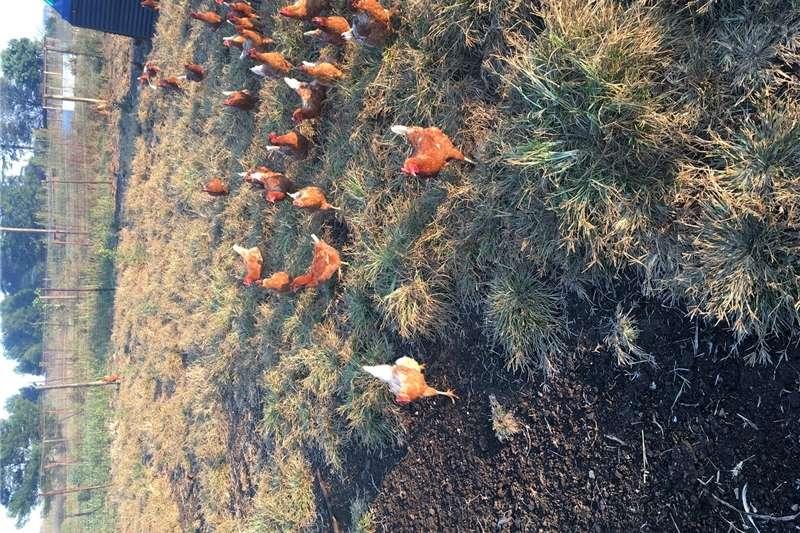 Chickens Farming Opportunity Livestock