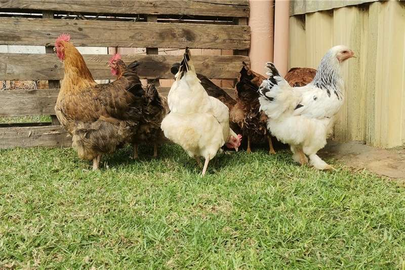 Chickens Hens for sale Livestock