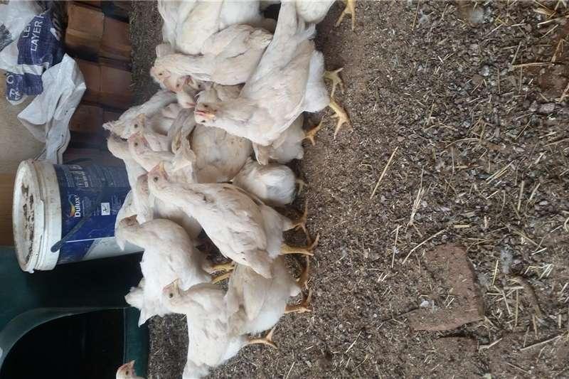 Chickens Hyline Hens white Livestock