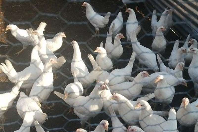 Livestock Chickens hyline pol available