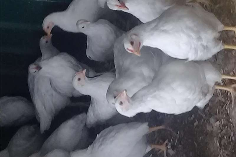 Chickens Hyline silver brown layer hens for sale Livestock