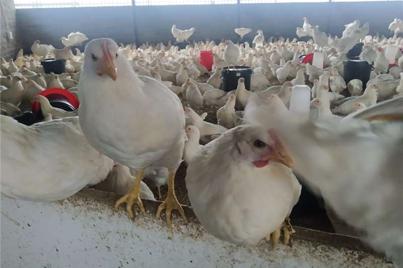 Chickens Hyline Silver Point of Lays Livestock