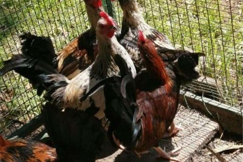 Livestock Chickens Jong bantam haantjies