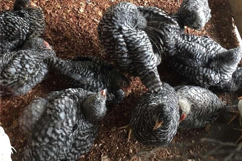 Chickens Koekoek chickens for sale Livestock