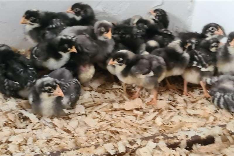 Chickens Koekoek kuikens Livestock