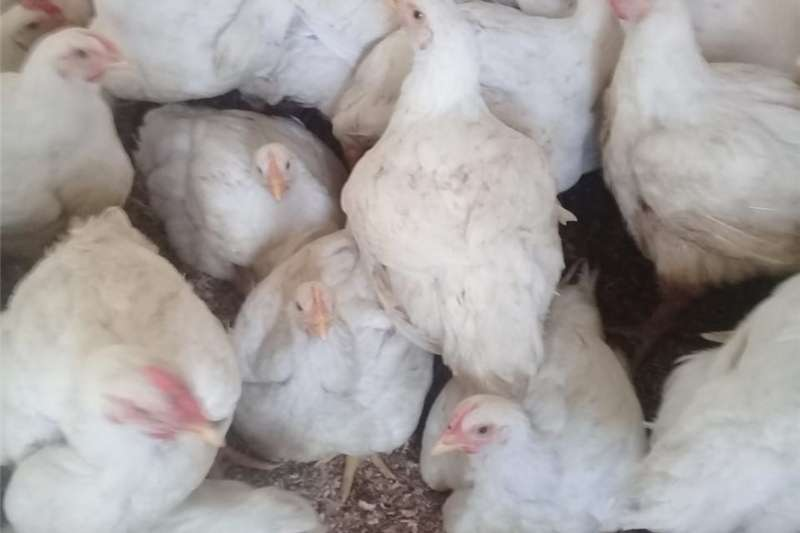 Livestock Chickens Live Broilers for sale in RUSTENBURG