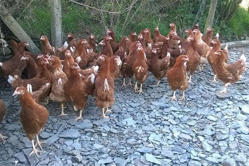 Livestock Chickens live chicken point of lay hens