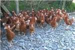 Chickens live chicken point of lay hens Livestock