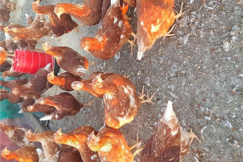 Chickens LOHMANN BROWN HEN`S Livestock